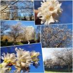 Wenn im Dezember die Kirschblüte aufgeht