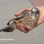 Falken auf Ausflug